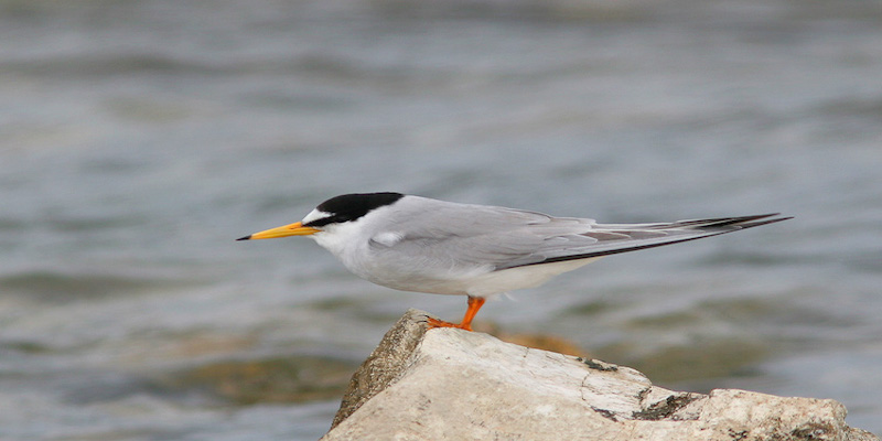 Little Tern, Photo by Angelo Nitti